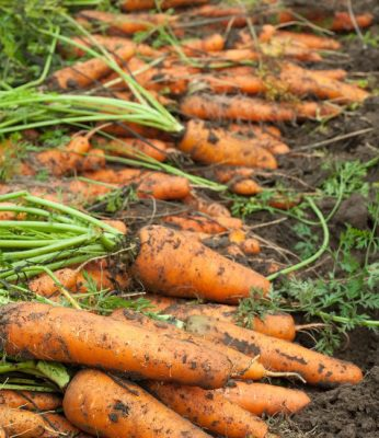 Carrots grown by Durnin's